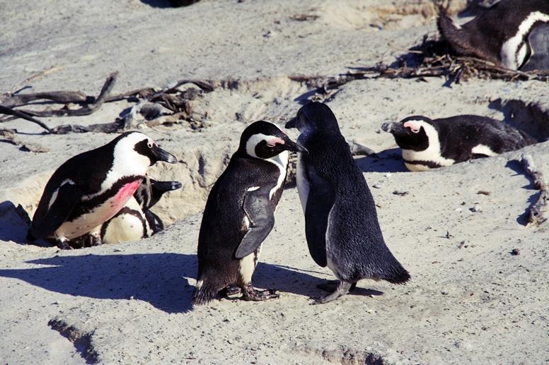 Detailaufnahme der Pinguine vom Boulders Beach