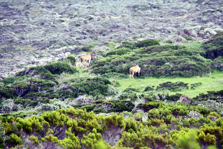 Elenantilopen im Cape Point Nationalpark auf der Cape Point Tour