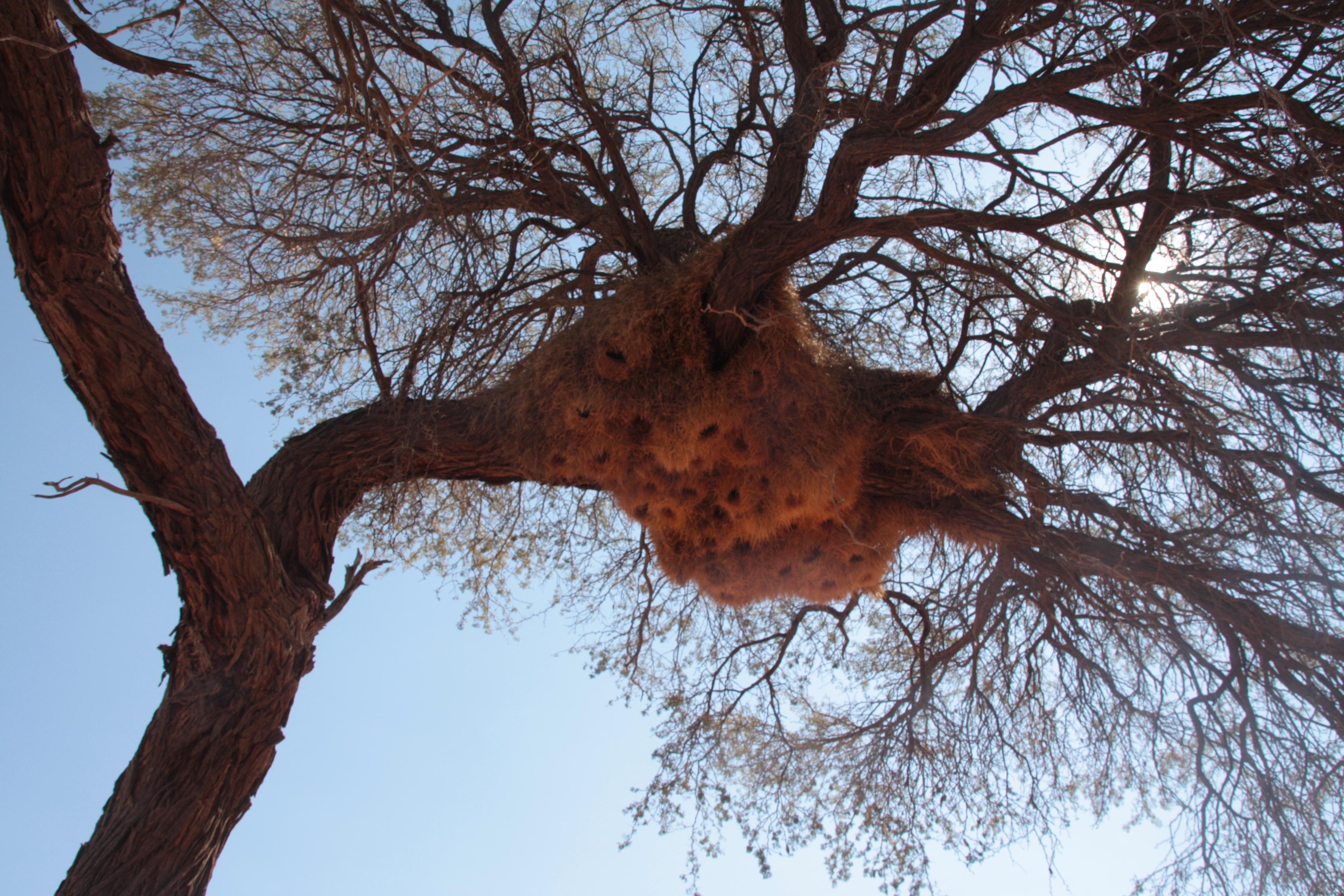 Wbervogelnest Namibia