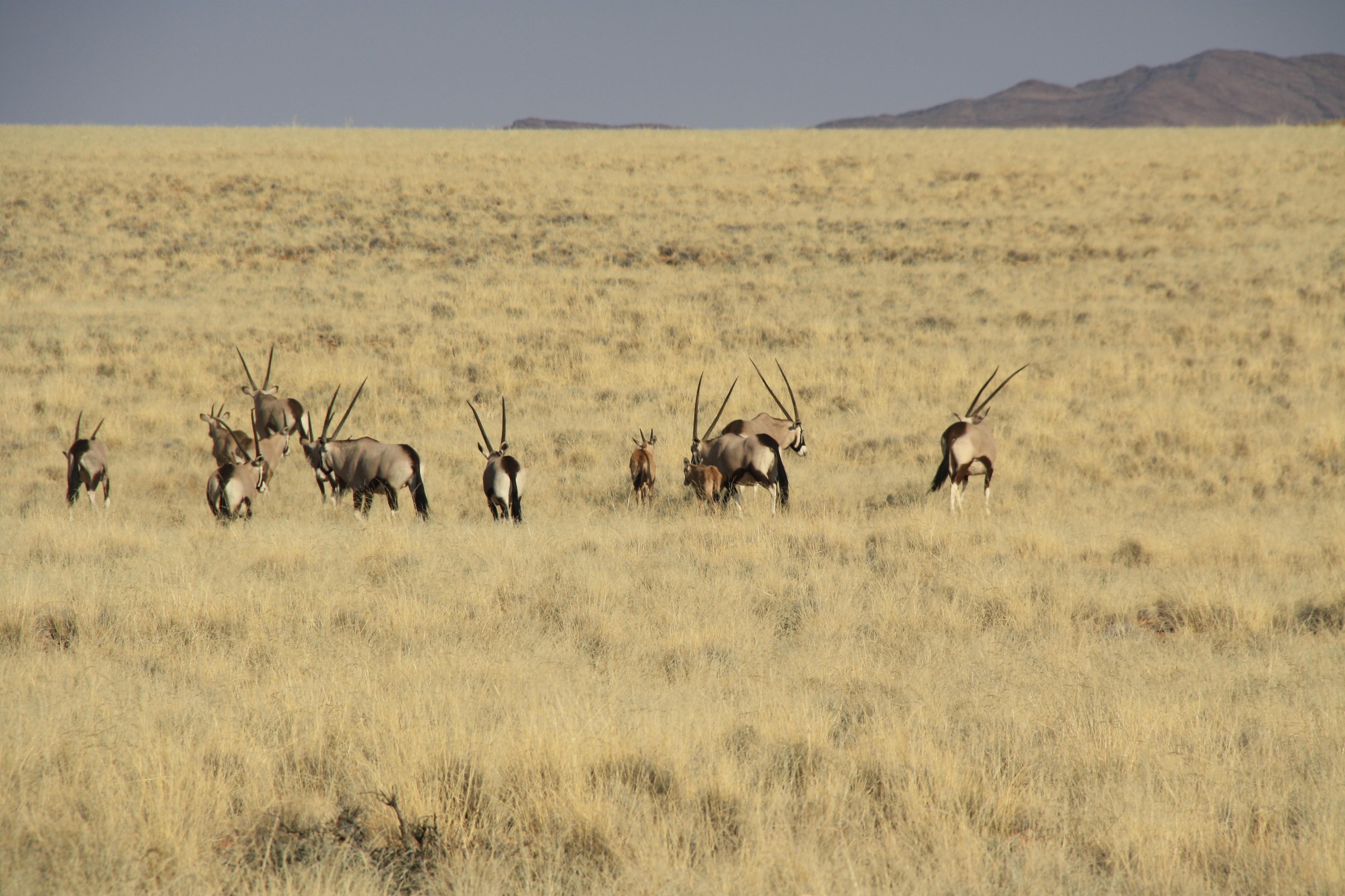 Herde Oryxe Namib Naukluft Namibia