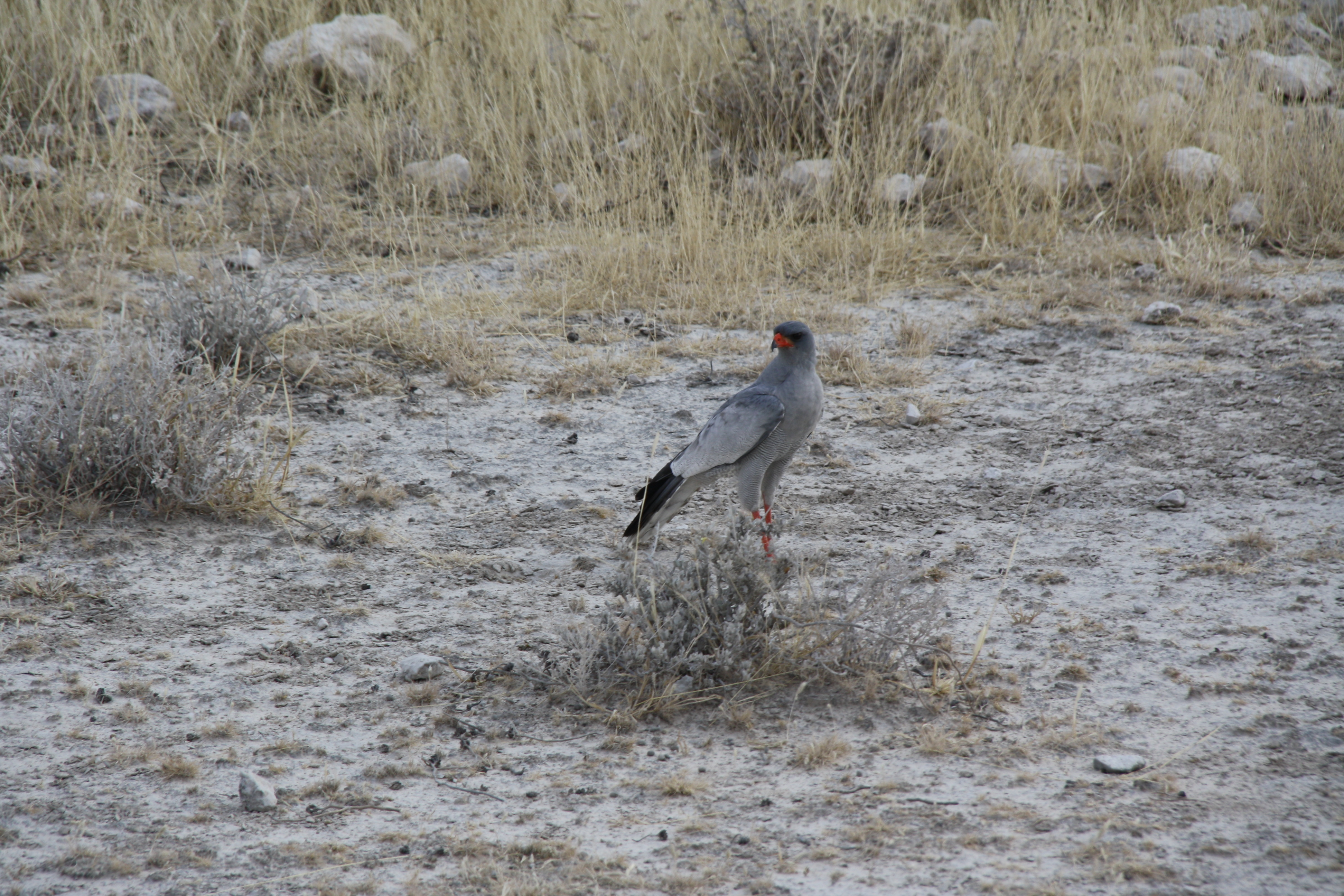 Etosha Nationalpark Namibia Vogel