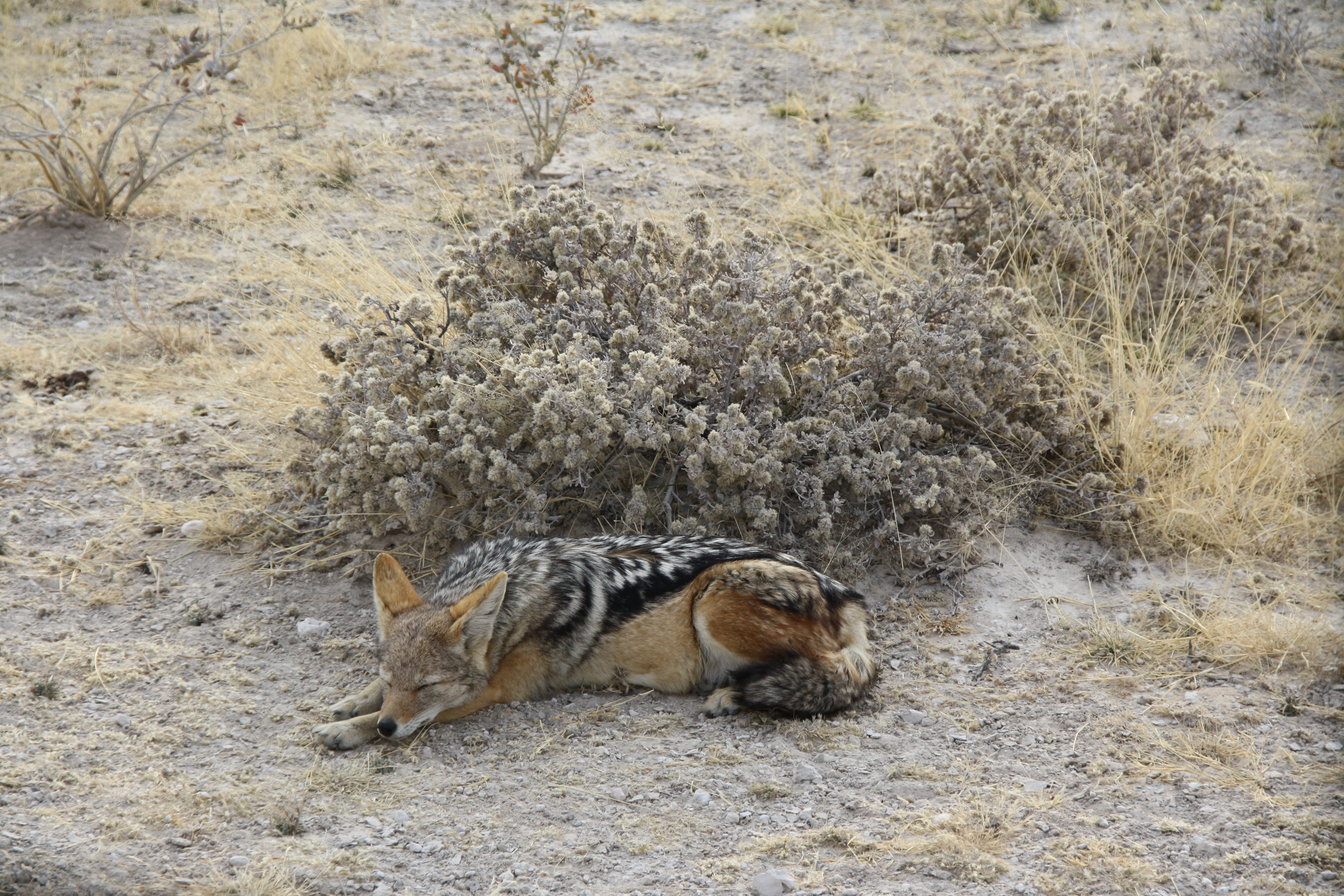 Schakal Etosha Nationalpark Namibia