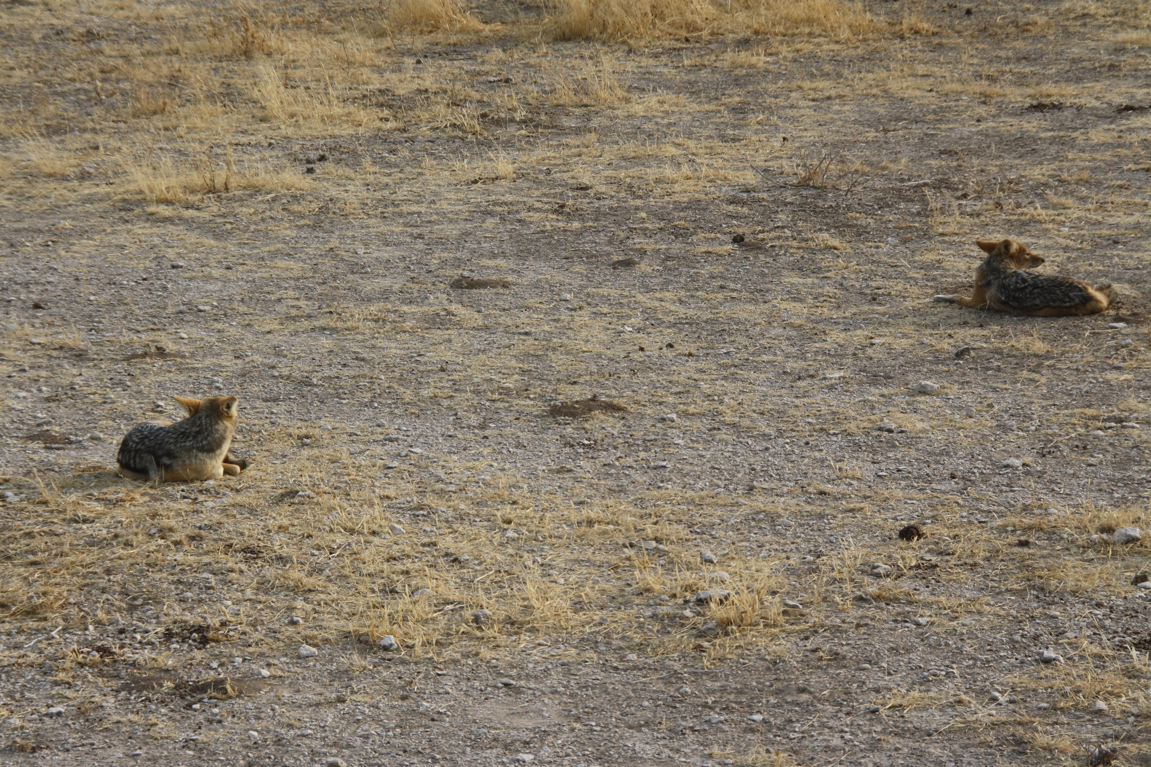 Schakale Etosha Nationalpark Namibia