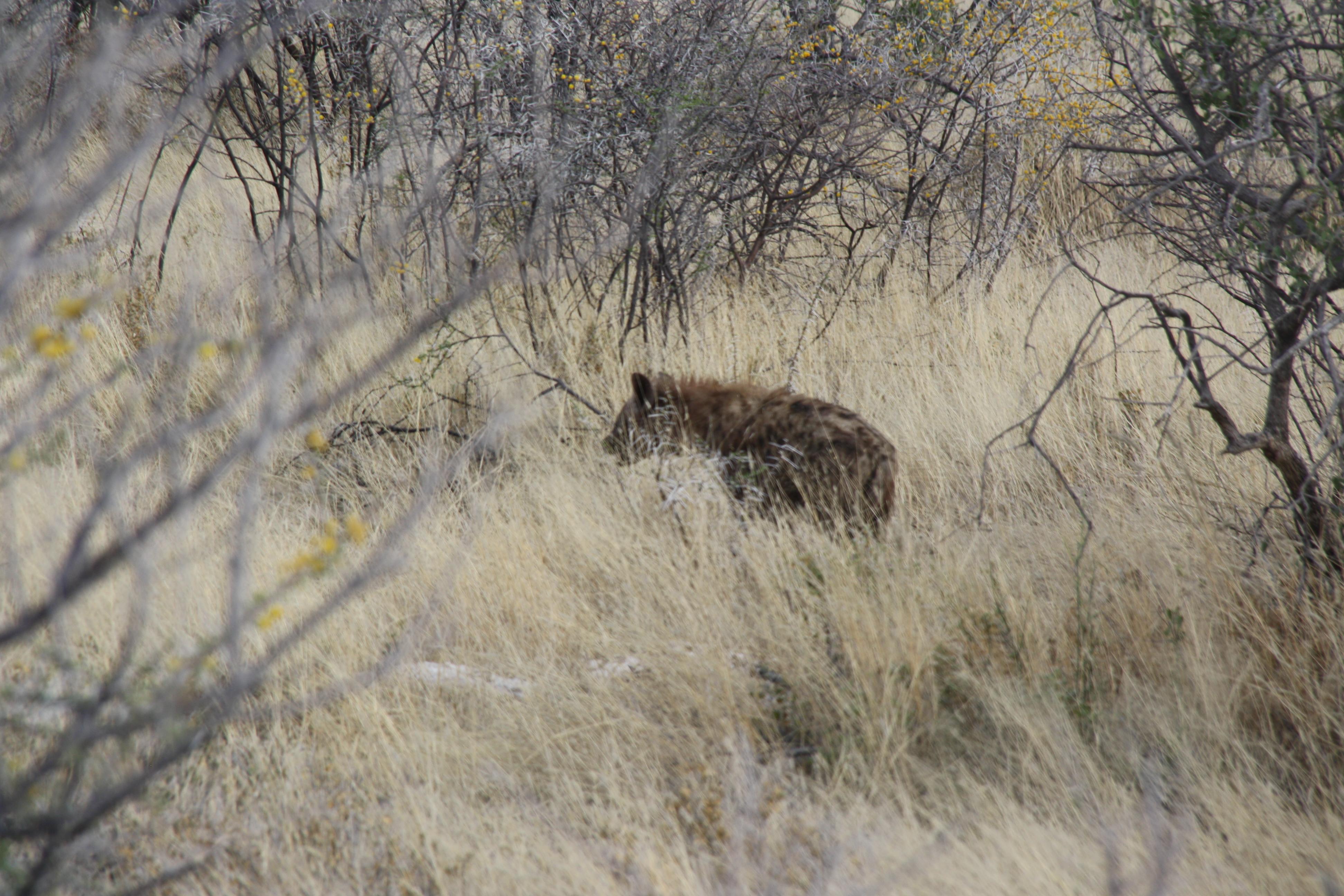 Hyäne Etosha Nationalpark Namibia