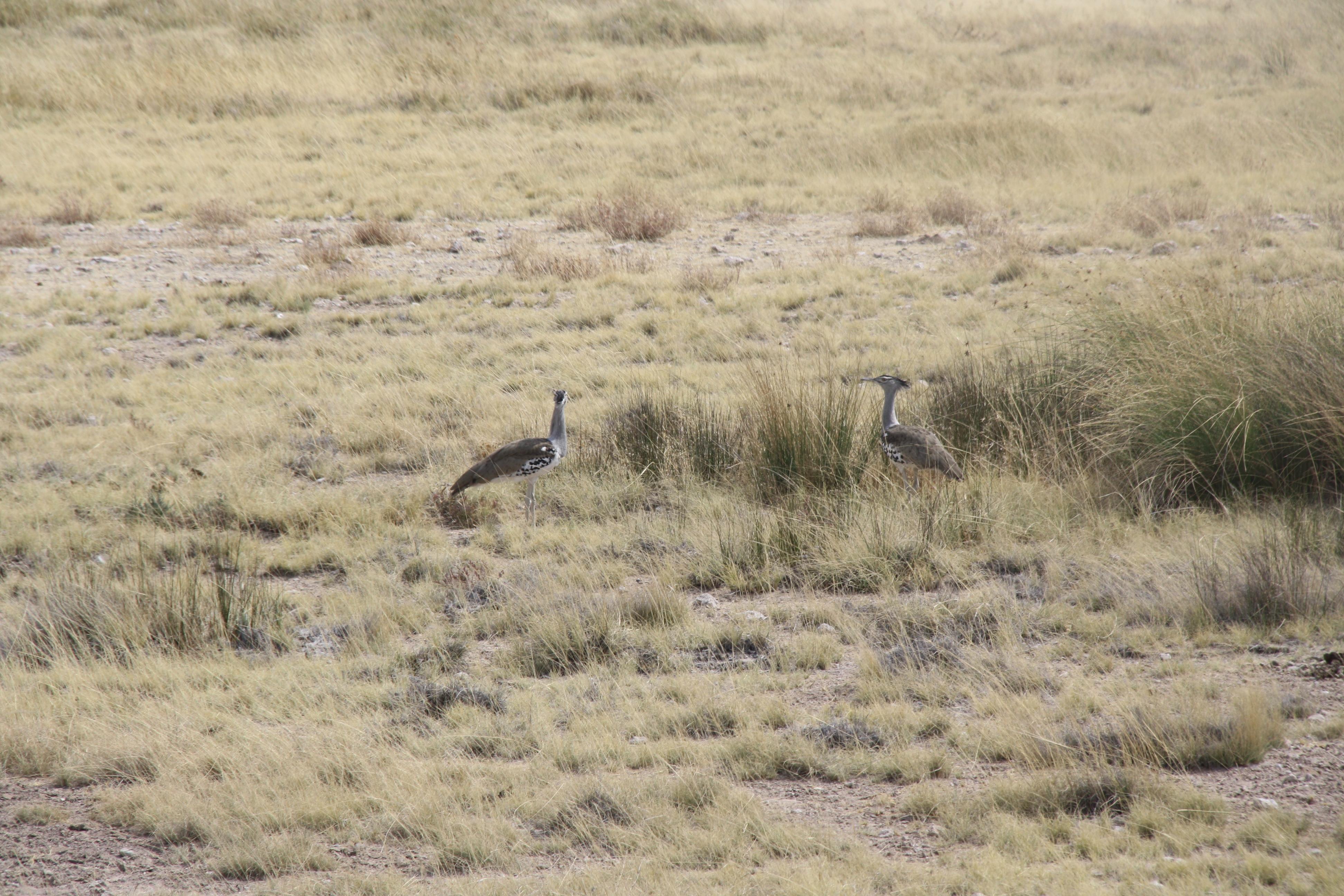 Kori Bustard Etosha Nationalpark Namibia