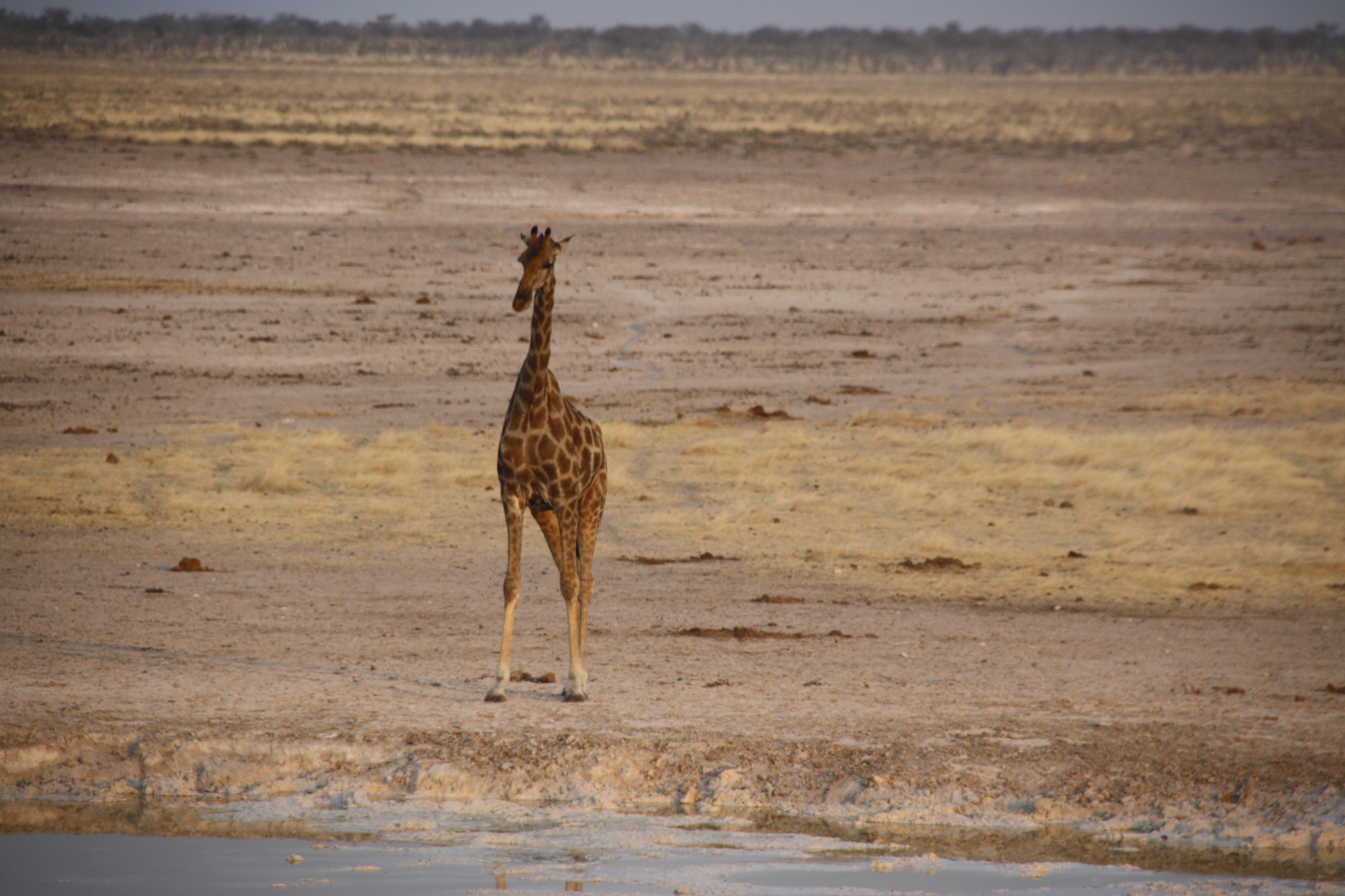 Giraffe Wasserloch Etosha Nationalpark Namibia