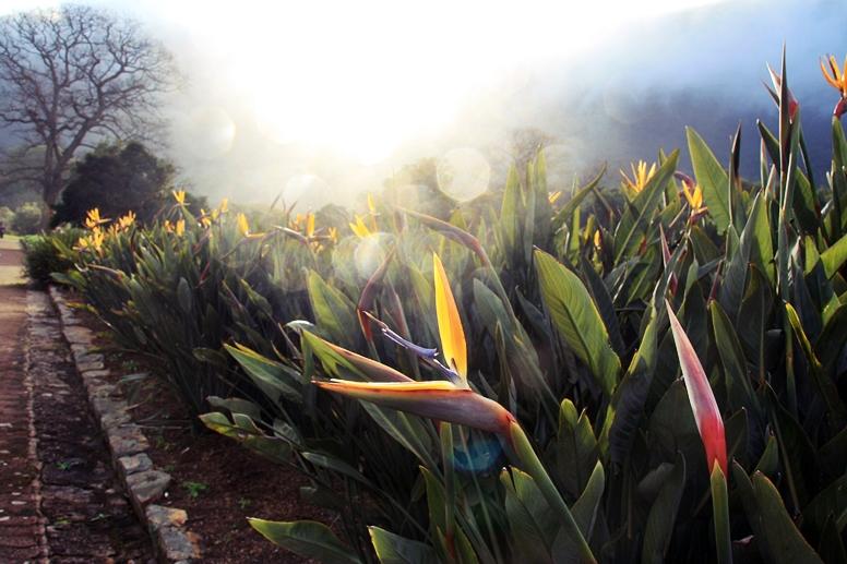 Proteas im Gegenlicht der untergehenden Sonne im Botanical Garden von Kapstadt