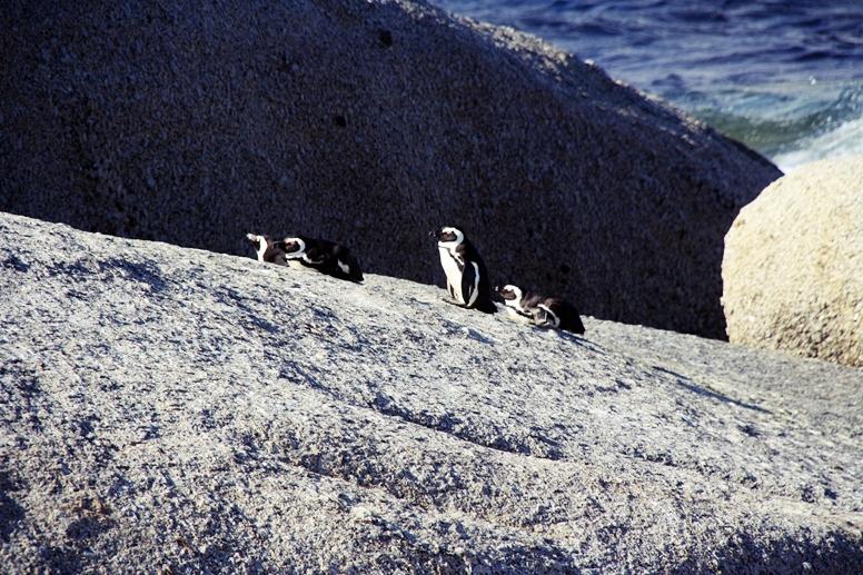 Pinguine am Boulders Beach auf großen, runden Steinen