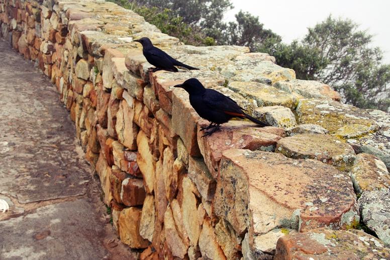 Vögel auf einer Steinmauer bei Cape Point