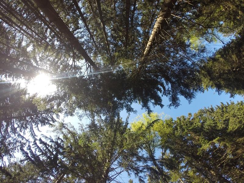Blick in die Baumwipfel Harz