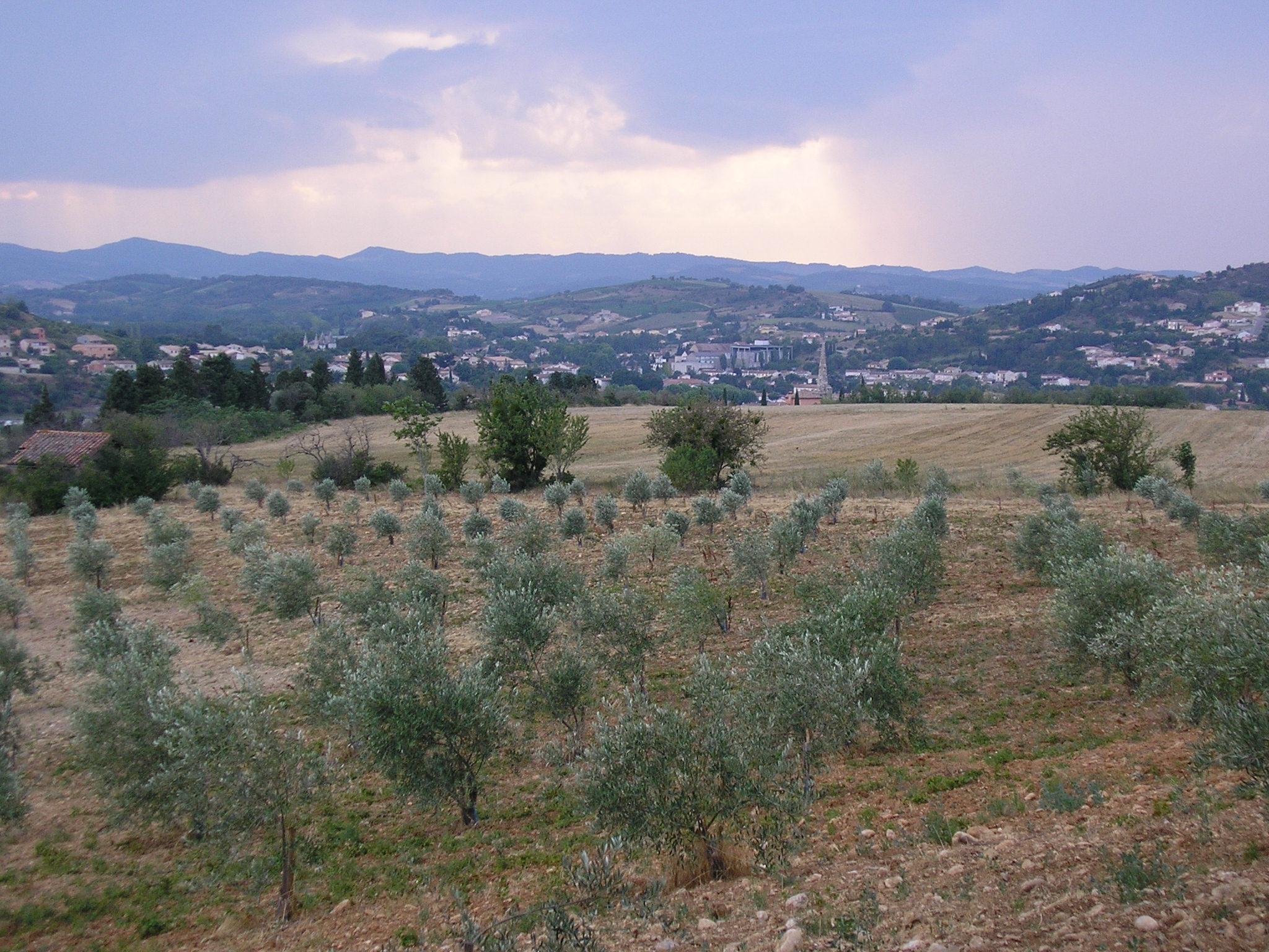 Limoux Südfrankreich Olivenhain