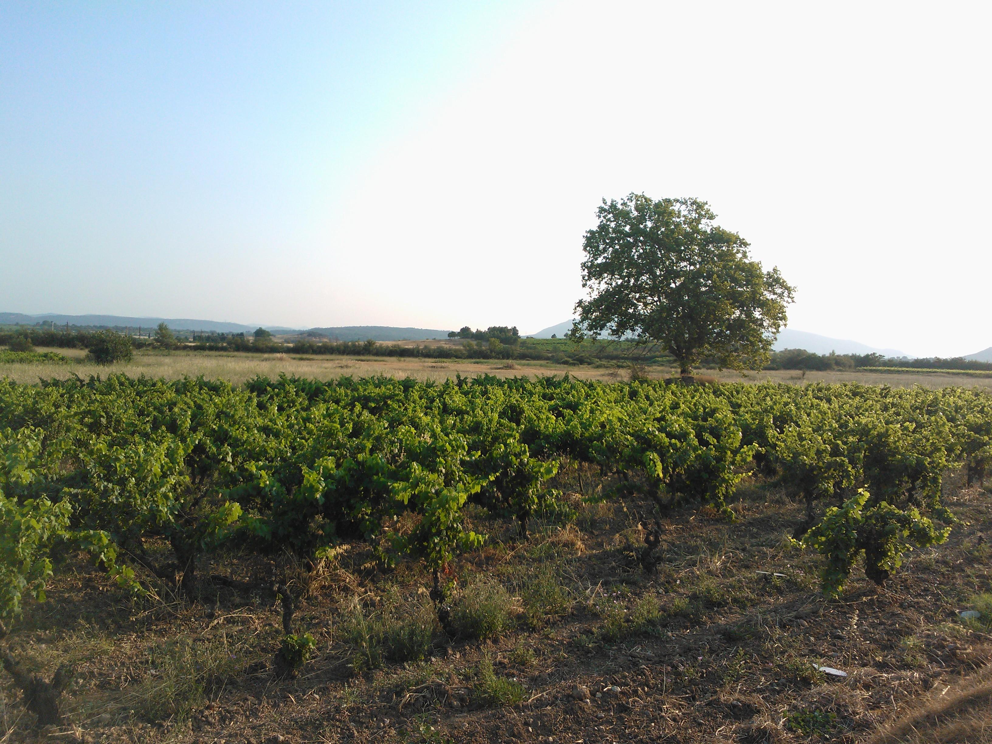 Conhilac Südfrankreich Weinfelder