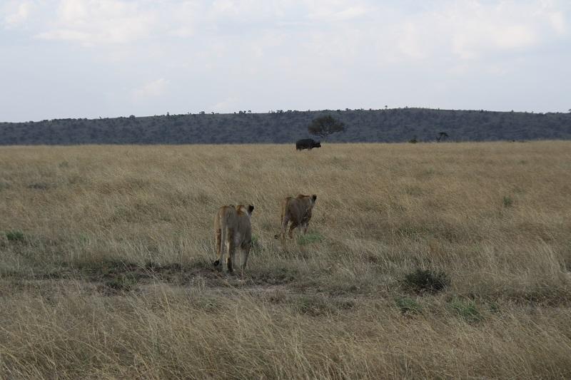 jagende Löwen, Massai Mara, Kenia