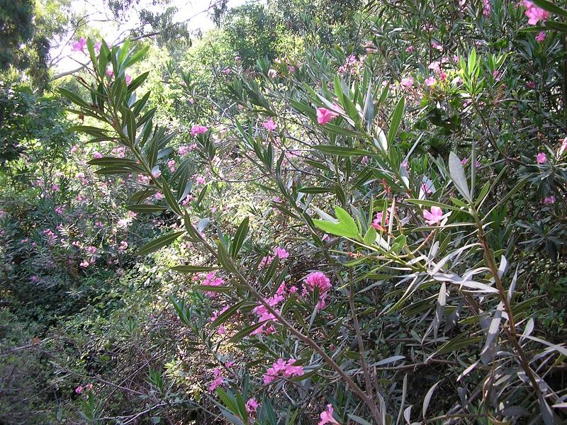 Oleander Zypern