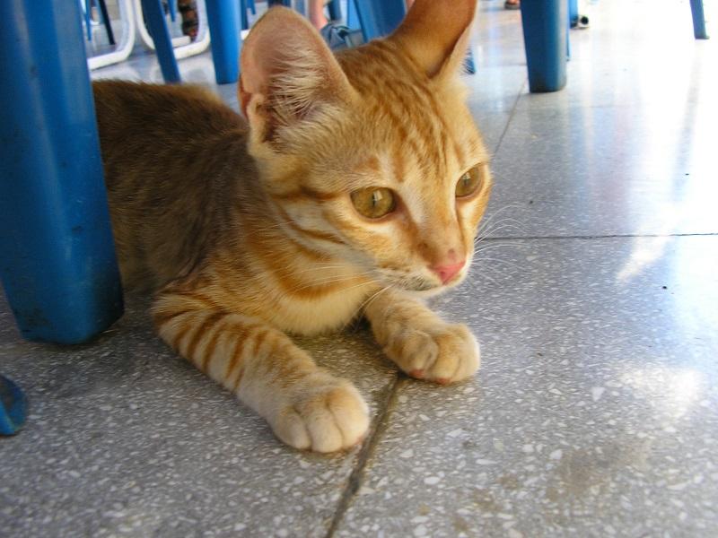 Katze Zypern