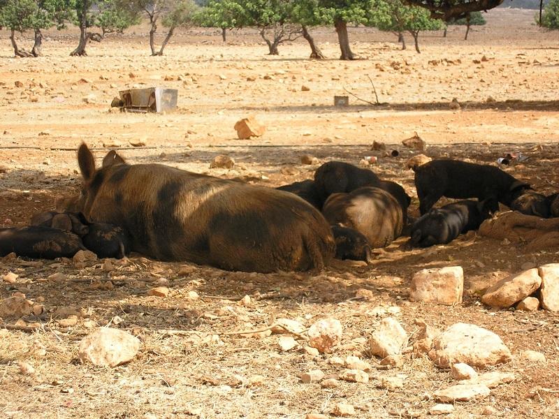 Schweine Zypern