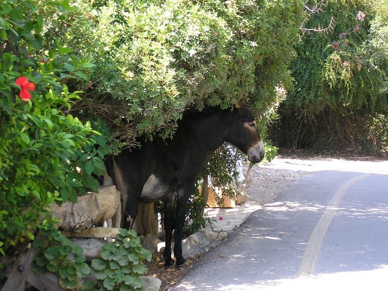 Esel Zypern