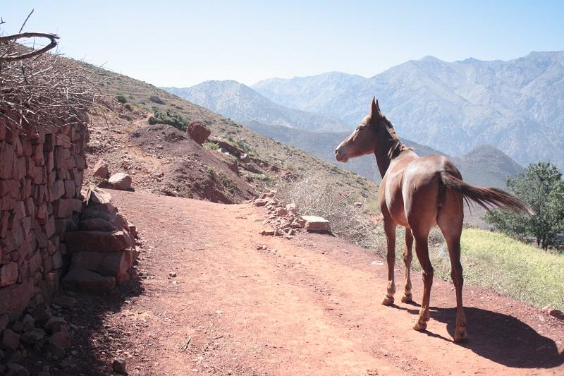 Ein Muli steht auf einem der Wanderwege, der durch den Hohen Atlas Marokkos führt