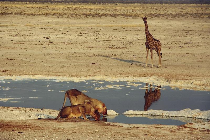 Löwen im Etosha Nationalpark, Namibia
