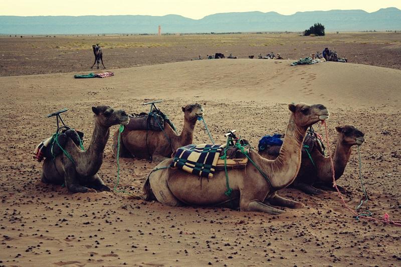 Kamel, Sonnenaufgang, Zagora