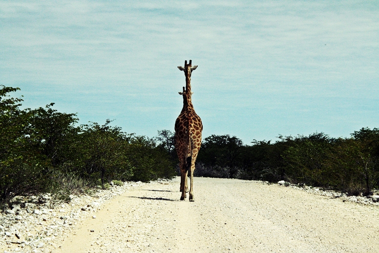Giraffen im Etosha Nationalpark in Namibia