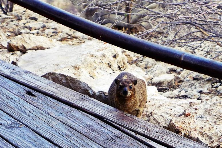 Klippschliefer auf dem Plateau des Eagles Nest der Vingerklip Lodge in Namibia