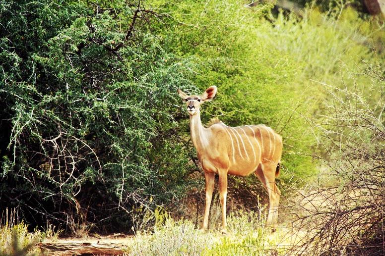 Kudu auf der Ameib Ranch