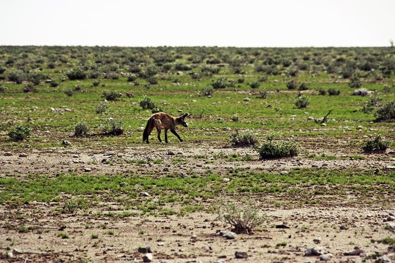 Löffelhund im Etosha Nationalpark in Namibia