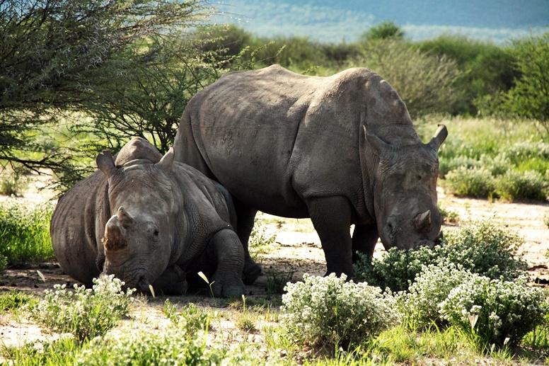 Zwei Nashörner am Waterberg in Namibia