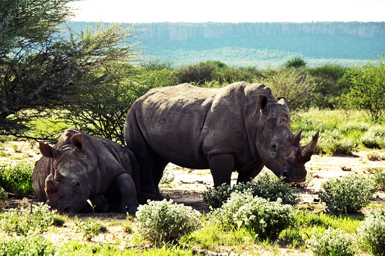 Nashörner auf dem Gelände der Waterberg Wilderniss Lodge in Namibia