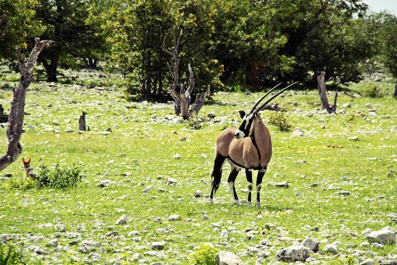 Oryx im Etosha Nationalpark in Namibia
