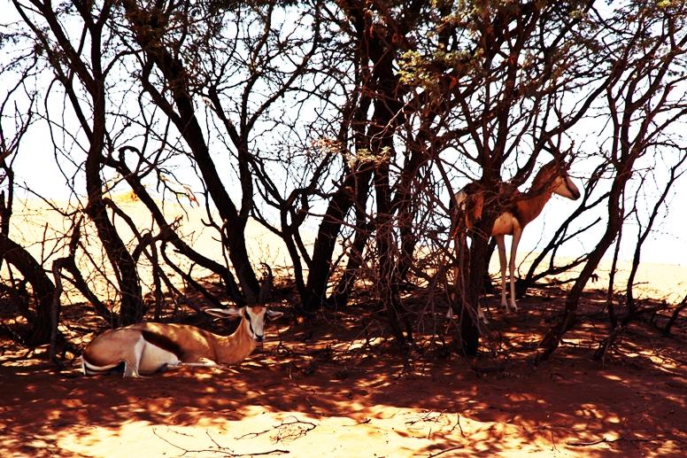 Springböke im Schatten einiger Bäume in der Namib Wüste in Namibia