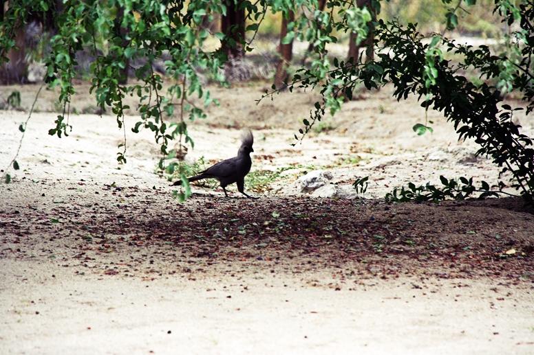 Grauer Vogel auf der Ameib Ranch