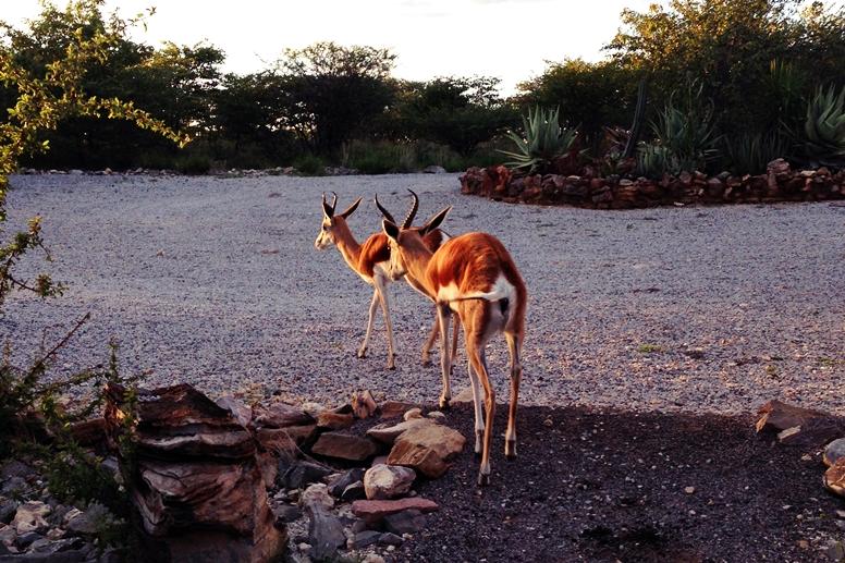 Zahme Springböke im Mondjila Safari Camp