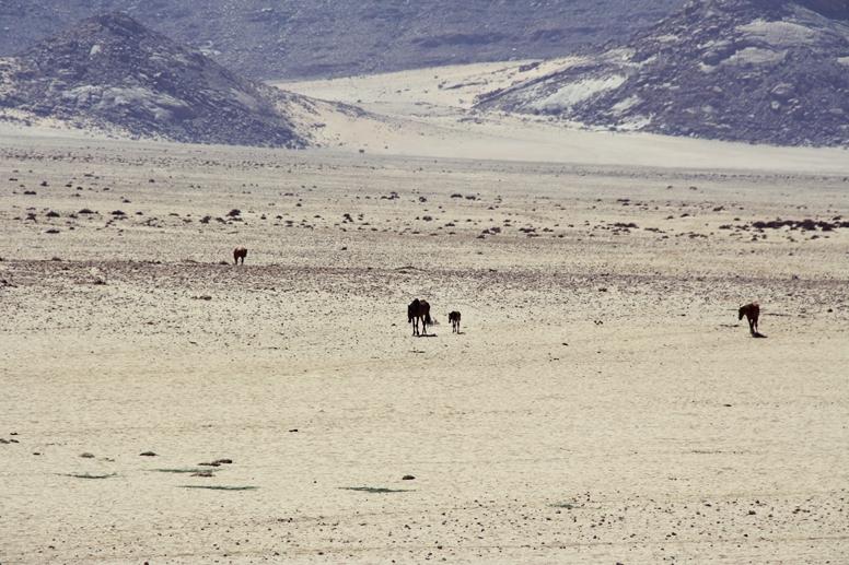Die Wildpferde von Aus in der kargen Landschaft Namibias