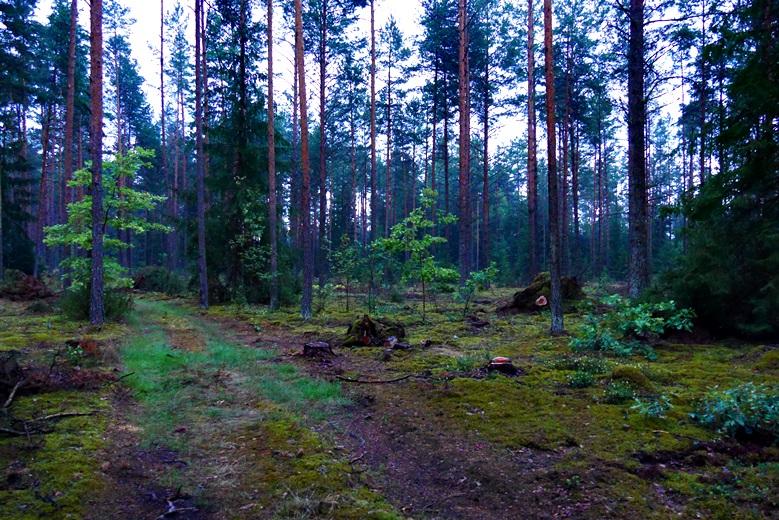 Morgenstimmung in einem Kiefernwald