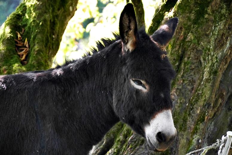 Begrüßung durch einen schwarzen Esel an der Bärenmühle auf der Wegschleife des Hugenotten- und Waldenserpfades bei Louisendorf in Nordhessen.