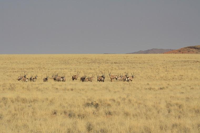 Herde-von-Oryxen-in-der-Namib-