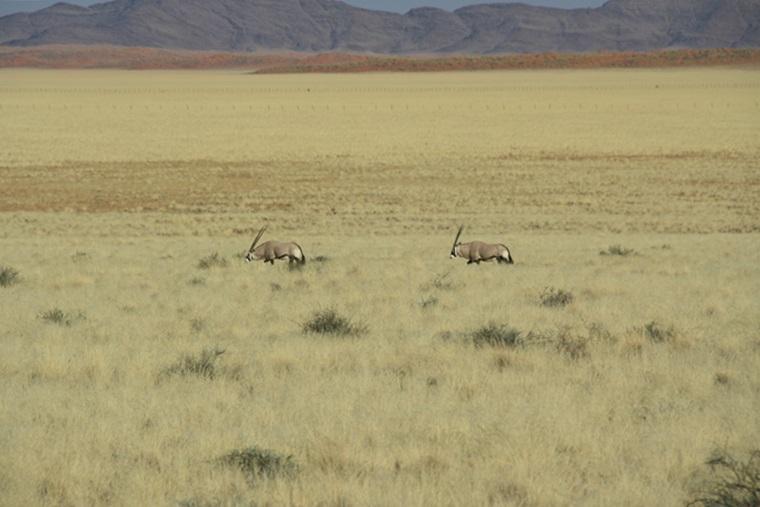 Zwei-Oryxe-in-der-Namib