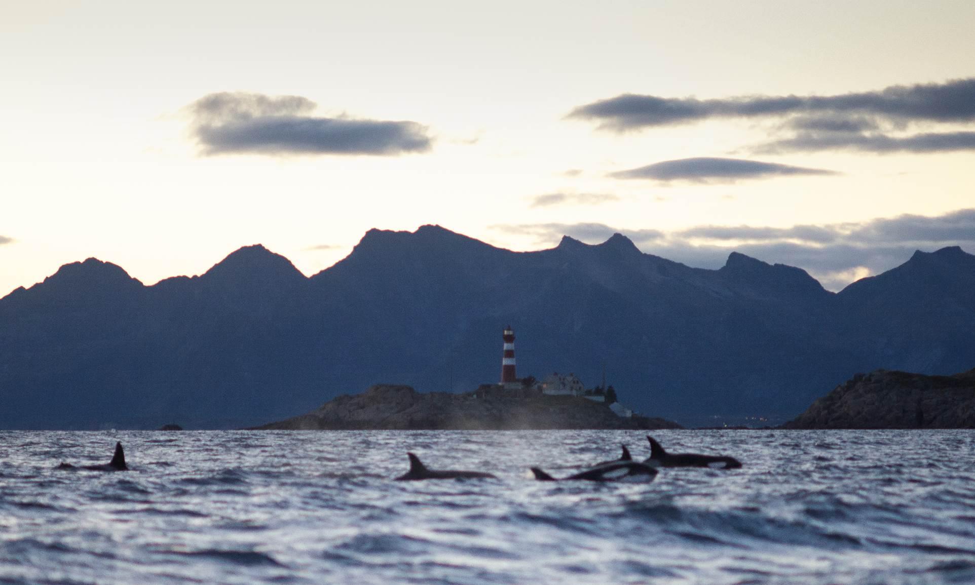 Orcas vor Skrova, Lofoten. Rezension Das Buch vom Meer