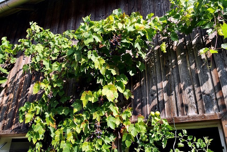 Weintraubenreben an einer der Mühlen im Lengeltal am Hugenotten- und Waldenserpfad