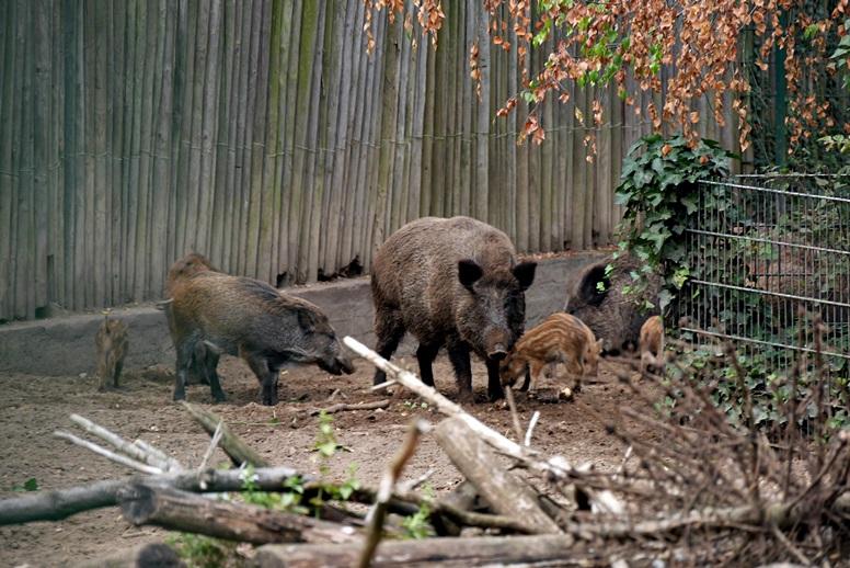 wildschweine-im-wildtierpark-mainz-gonsenhaim