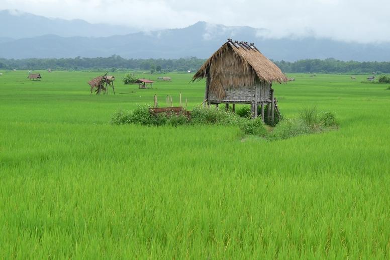 Grüne Reisfelder mit einzelnen Häusern in Laos