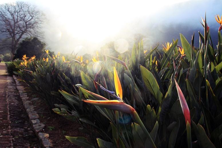 Nahaufnahme Proteas im Botanischen Garten Kirstenbosch