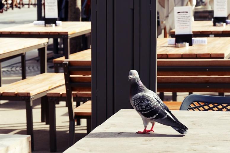 Neugierige Taube in Antwerpen