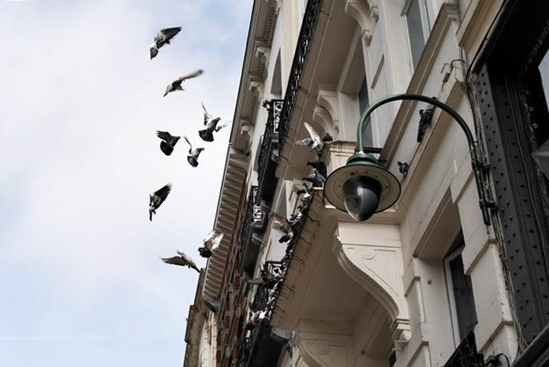Tauben auf einem alten Haus in der Brüsseler Altstatd