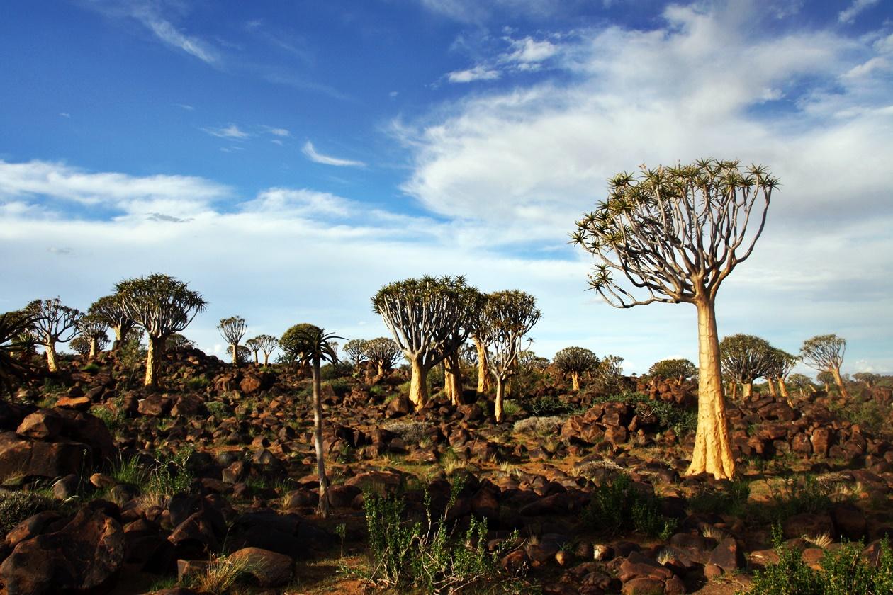 Köcherbaumwald bei Keetmanshoop in Namibia