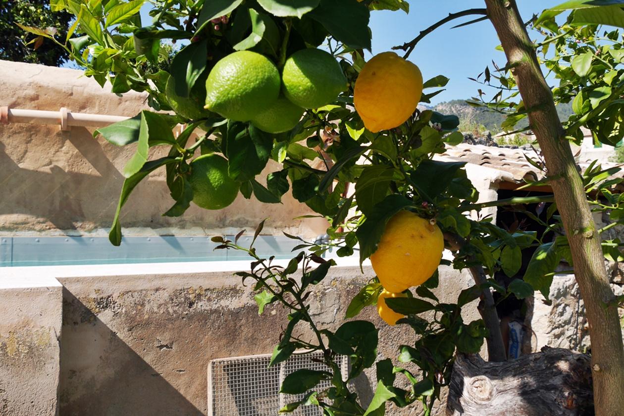 Zitronen im Sa Fita Backpackers in Esporles