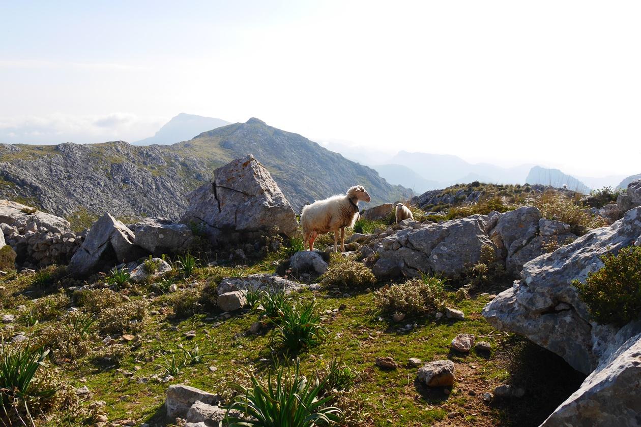 Schafe auf der 6.Etappe des GR221