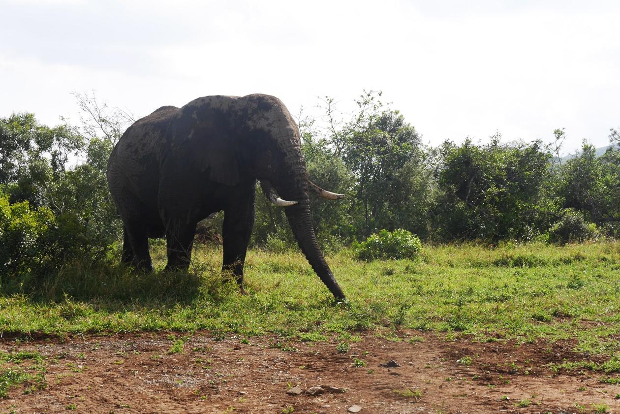 Elefant auf Safari im Hluhluwe Umfolozi National Park